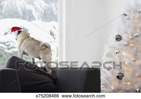 Stock Images Of White Christmas Tree And Pug Dog On Sofa Looking