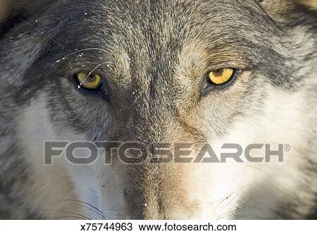 Lupo canus lupus primo piano archivio immagini x75744963