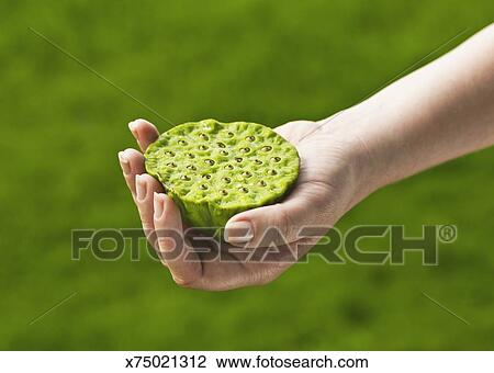 stock photo of woman holding lily pad seed pod x75021312 search