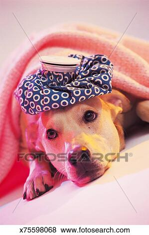 Dog Under Blanket With Ice Bag On Head