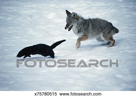 [Image: coyote-chasing-mink-stock-image__x75780515.jpg]