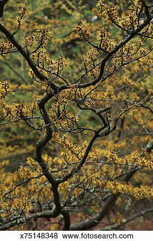 Hamamelis Japonica Arborea Stock Photo X75148348 Fotosearch
