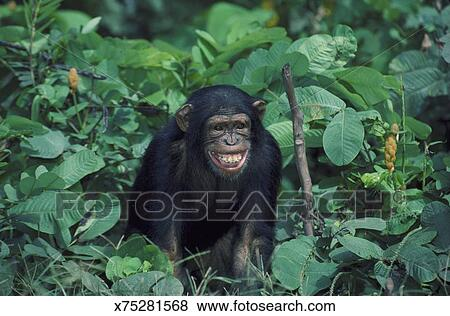 pictures of common chimpanzee pan troglodytes immature showing fear