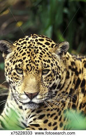 Jaguar Panthera Onca Inhabits The Rainforest Of Central And South America