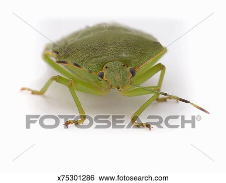 Stock Images of Green stink bug (Acrosternum hilare) x75301286 ...