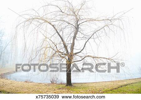 Weeping Willow Tree In Winter Stock Photo X75735039
