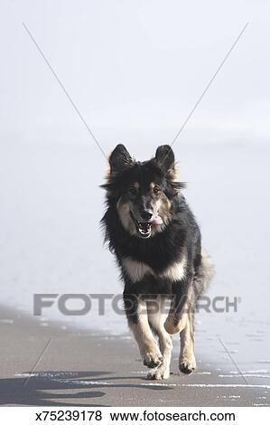 Pictures Of Cute Dog Running On Beach X75239178 Search Stock
