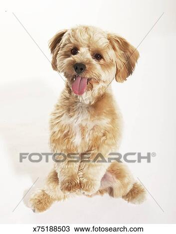 Stock Photo Of Yorkiepoodle Mix Sitting With Paws Up X75188503