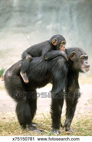 Chimpanzee pan troglodytes baby on back  endangered species  zoo animal  Stock Image