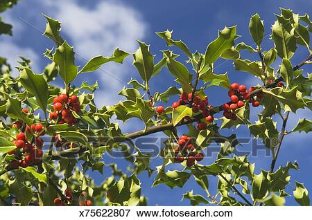 Agrifoglio, Albero, Con, Berries.