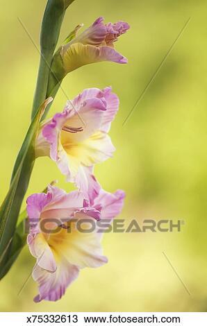 Stock photo of gladiolus flower spike with pale pink flowers gladiolus flower spike with pale pink flowers mightylinksfo