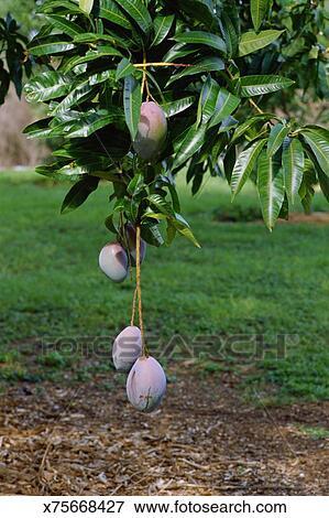 image mangue arbre x75668427 recherchez des photos des images des photographies et des. Black Bedroom Furniture Sets. Home Design Ideas