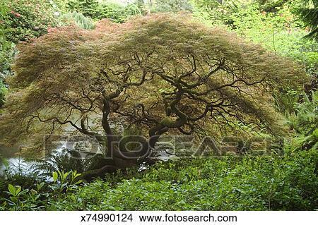 Japanese Maple Tree Or Acer Palmatum Dissectum Picture X74990124