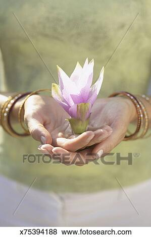 Hands Holding Lotus Flower Blossom Stock Photo X75394188 Fotosearch