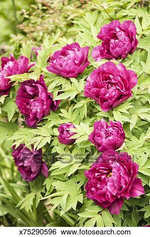 Stock Images Of Purple Japanese Tree Peony Flower Pattern X75290596