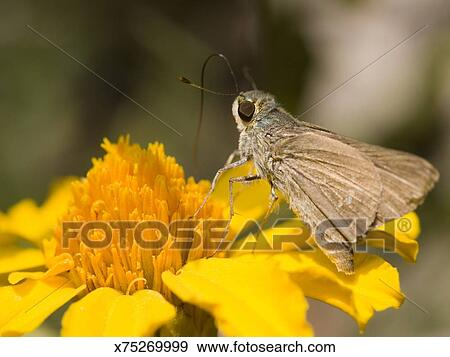 Sưu tập Bộ cánh vẩy 2 - Page 32 Rice-swift-butterfly-borbo-cinnara-on-stock-photograph__x75269999