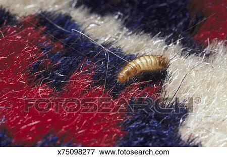 Bild Teppich Kafer Anthrenus Verbasci Wooly Bar Larve
