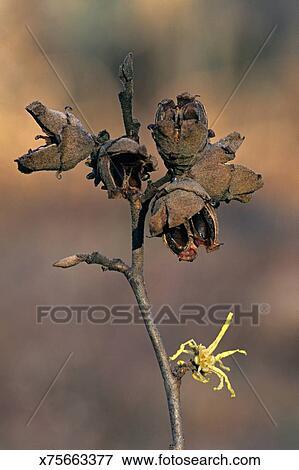 Witch Hazel Hamamelis Virginiana Flower And Fruit Astringent