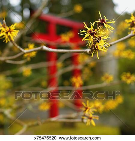 Witch Hazel Hamamelis Virginiana Close Up Spring Stock Image