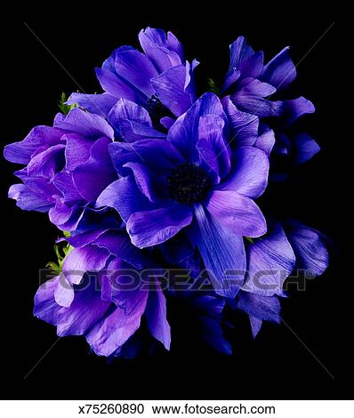 Stock Photography Of Purple Flowers On Black Background X75260890