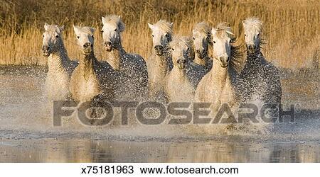 Stock Photo Of White Horses Running Through Water France X75181963