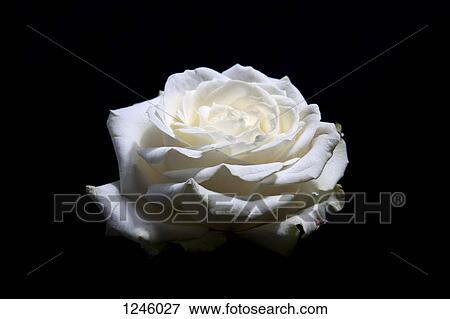 Uno Azzurramento Rosa Bianca Testa Uno Sfondo Nero Archivio