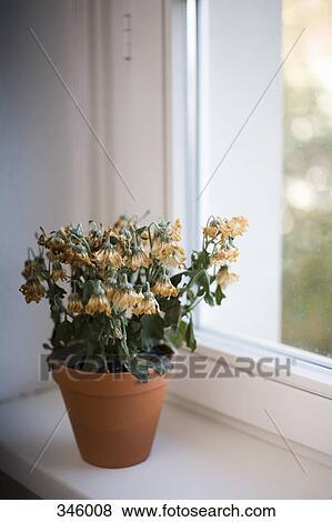 Bilder Verwelkte Blumen In Terracotta Topf Auf Fensterbank