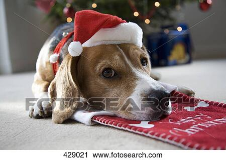 beagle lying on a christmas stocking whilst wearing a santa hat - Christmas Beagle