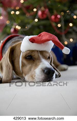 Christmas Beagle Clipart.Beagle Wearing A Santa Hat Stock Image