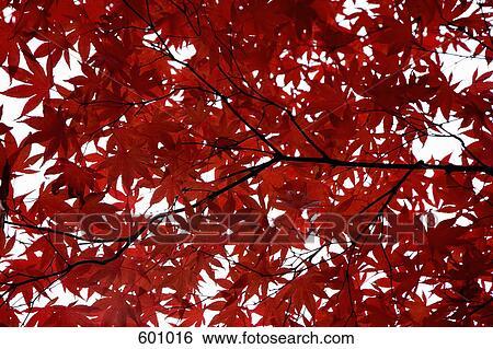 banque d 39 images feuilles rouge sur a arbre rable dans automne 601016 recherchez des. Black Bedroom Furniture Sets. Home Design Ideas