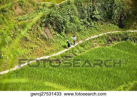 Arroz Cosecha En Un Campo Jinkeng Campo Terrazas Provincia De Guangxi China Colección De Imágen
