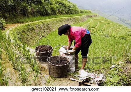 Perfil Lateral De Un Mujer Madura Trabajando En Un Campo Jinkeng Campo Terrazas Provincia De Guangxi China Colección De Imágen