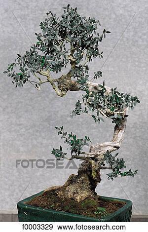 Bonsai Voor Binnen.Bonsai Olijf Boom Binnen Binnen Stock Foto