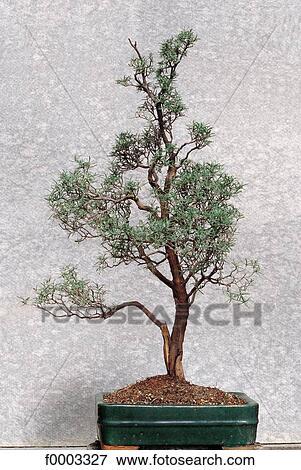 Bonsai Voor Binnen.Bonsai Rozemarijn Aromatisch Binnen Binnen Stock Foto