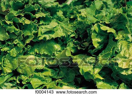 Salat Blatt Blätter Nahrung Gemüse Grün Webb Kopfsalat Stock Bild