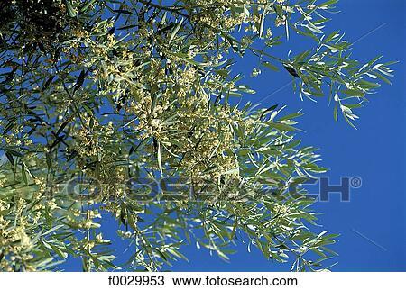 Espagne, andalousie, floraison, olivier, à, printemps Banque d\'Image
