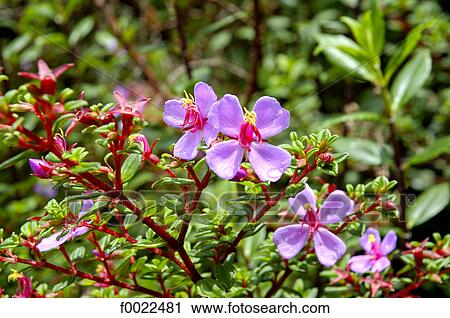 Costa Rica Poas Volcano National Park Flower Stock Photography Of