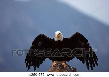 stock image of bald eagle perched on rock is250 575 search stock