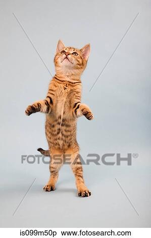 Colección de imágen - gato, posición, en, espalda, piernas is099m50p ...