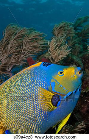 Stock Photo Of Queen Angelfish And Octocoral Is09a4cz3 Search