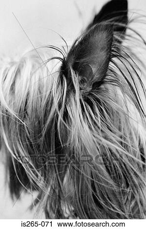 Ears And Long Hair Of Small Dog Stock Image Is265 071