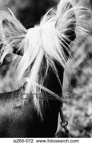 Ears And Long Hair Of Small Dog Stock Image Is265 072