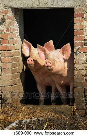 يعيش الخنازير و الخنازير ، الخنازير للحوم/weaned الخنازير/كبير أبيض صغير  للبيع