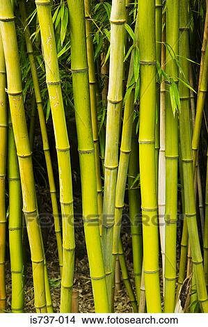 Bamboo Plants Picture Is737 014 Fotosearch