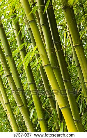 Bamboo Plants Stock Photo Is737 037 Fotosearch