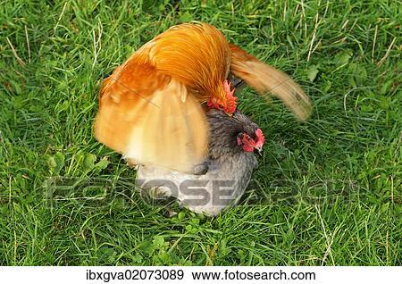 Appenzeller Chicken Mating Appenzell Switzerland Europe