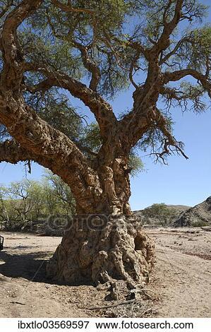 Apple Ring Acacia Ana árbol Balanzan árbol O Invierno Espina
