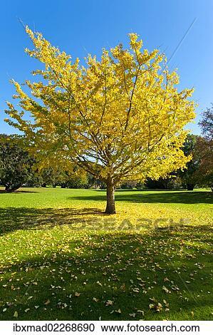 Autumnal Tree Ginkgo Tree Ginkgo Biloba Western Springs Park