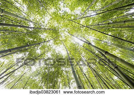 Stock Photography Of Bamboo Bambus Fargesia Grove Near Bad