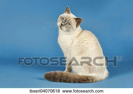 British Shorthair Cat 2 Years Colour Lilac Point Stock Photo